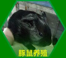 茗阳黑豚鼠